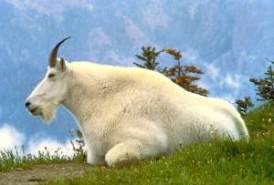 Mountain Goat: The official symbol / Photo taken by Dave Grickson