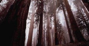 Sequoia Facts