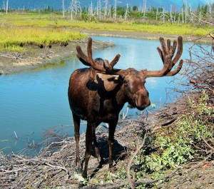Moose in Rocky mountain