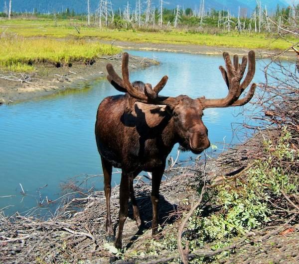 Moose in Rocky mountain