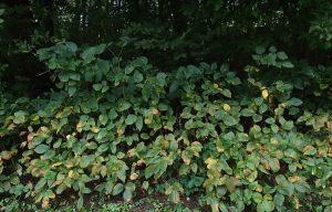 Poison Ivy Shrub